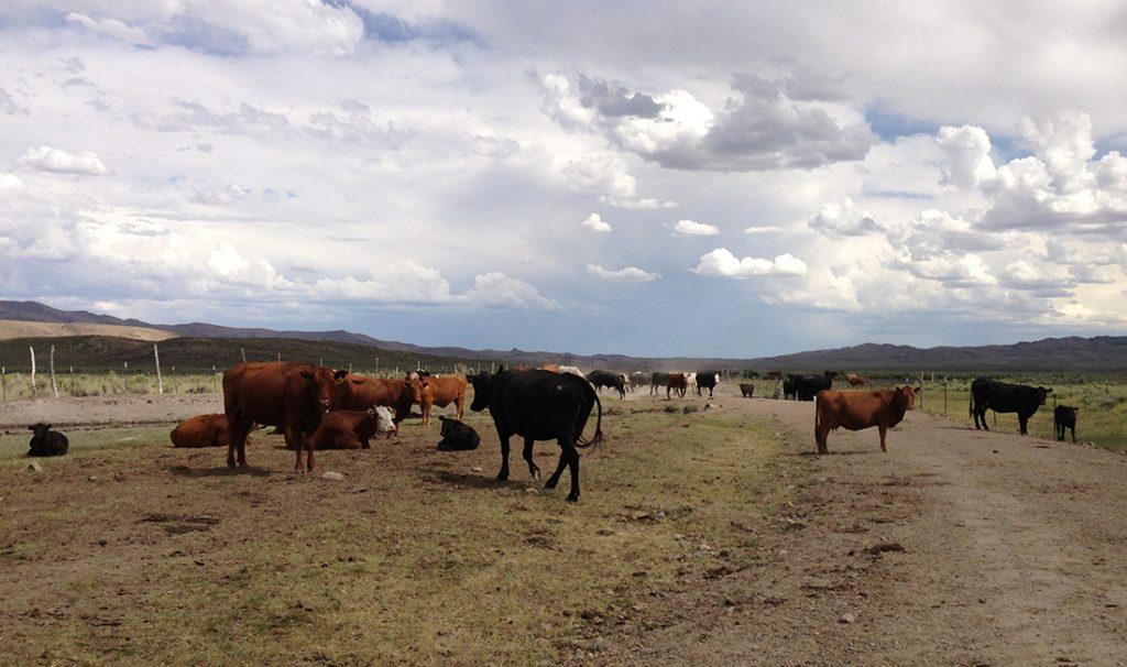 Cattle in Nevada